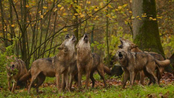 abbattimento-lupi-viminale