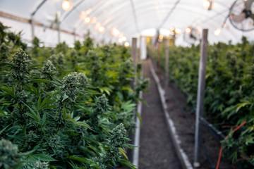 Photo of Cannabis, la vendita dei prodotti derivati dalla coltivazione è illegale: parla la Cassazione