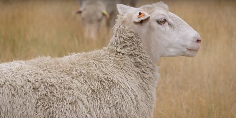 Photo of Puglia, sevizia la sua pecora: pastore 71enne in manette