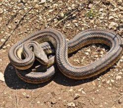 serpente-più-lungo-Europa-Croazia