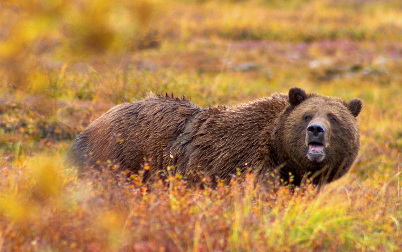 Uomo-ucciso-orso-grizzly-canada