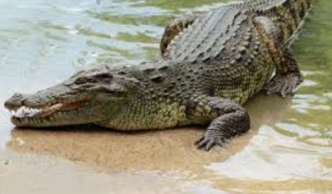 Photo of Australia, uomo calpesta per sbaglio un coccodrillo: morso al pene e alla gamba