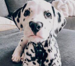 Wiley il cucciolo Dalmata con il naso a forma di cuore che ha conquistato il web