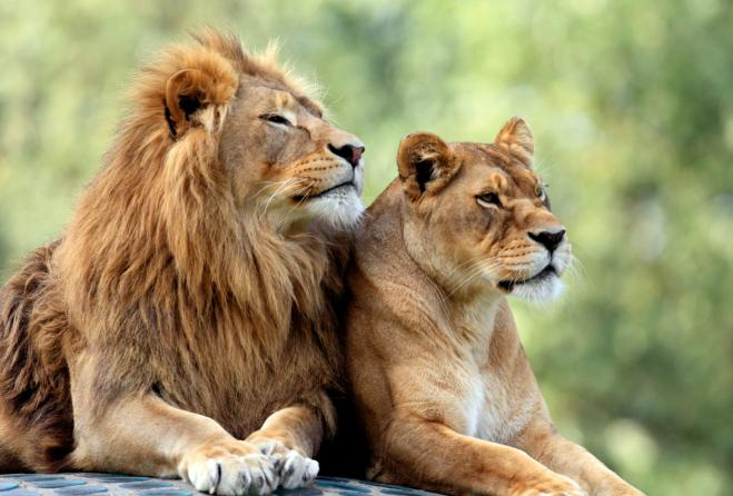 india-bambino-sbranato-ucciso-leone