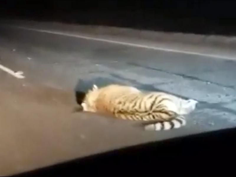 incidente-stradale-russia-autobus-tigre-bianca