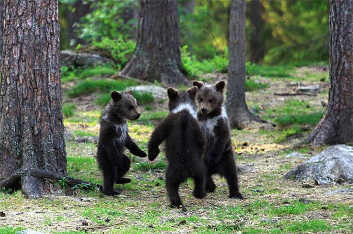Photo of Fotografo immortala 3 adorabili orsi che fanno il girotondo: lo scatto è virale