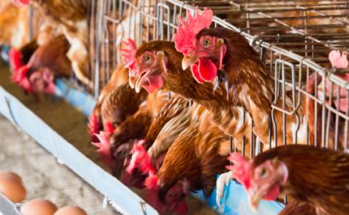 influenza-aviaria-italia-allarme-ufficio-federale-sicurezza
