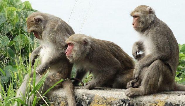 india-scimmie-rubano-campioni-sangue-malati-coronavirus
