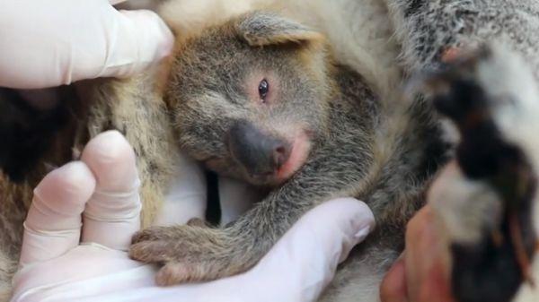 australia-nasce-koala-incendi-ash
