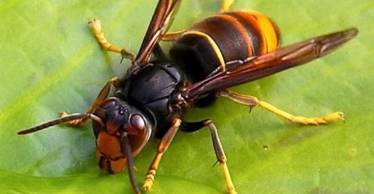 italia-vespa-velutina-killer-api