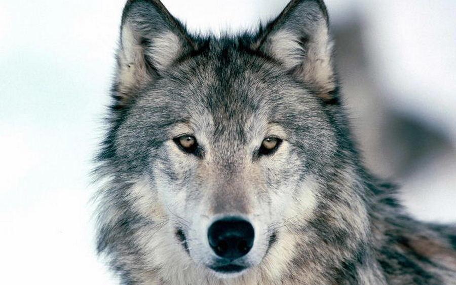 """Photo of Piemonte, la Lega propone di uccidere i lupi: """"Emergenza fuori controllo"""""""