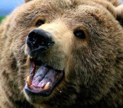 trentino-orso-aggredisce-padre-figlio