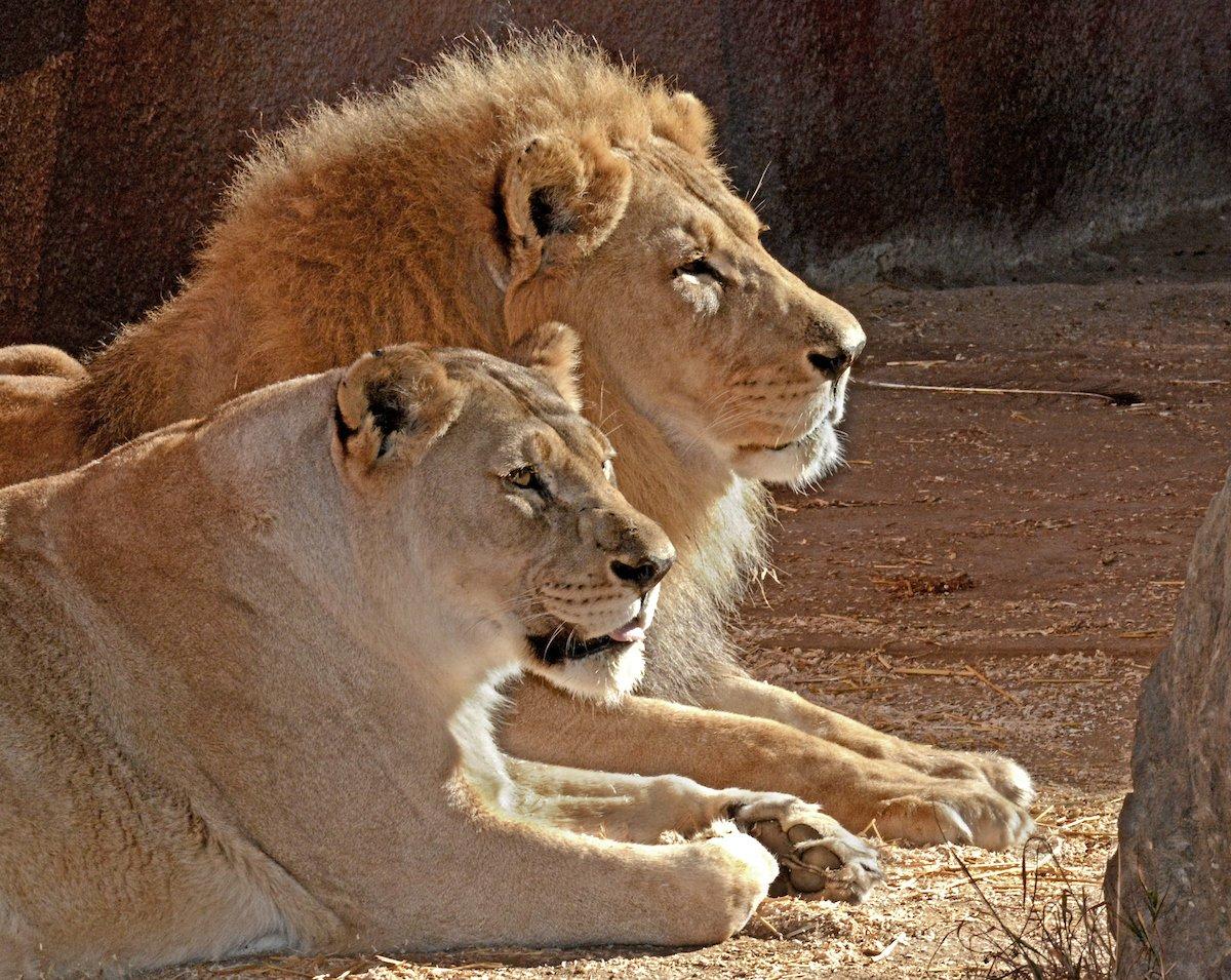 los-angeles-leoni-inseparabili-uccisi-zoo