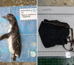 brasile-pinguino-morto-ingerito-mascherina