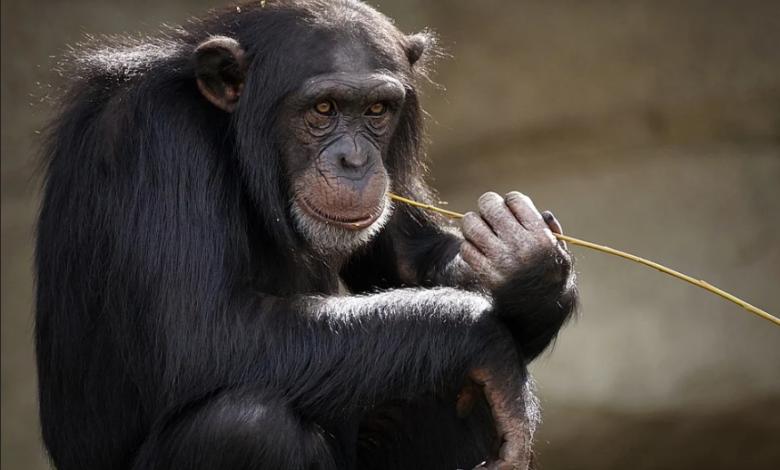 prima-scimmia-vaccinata-covid