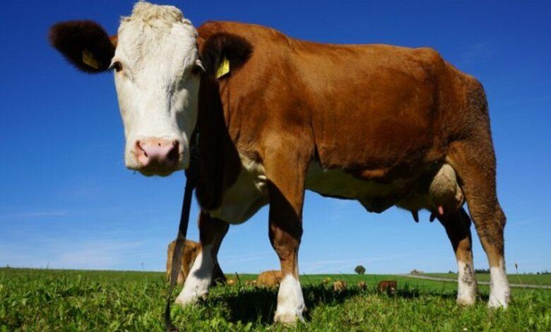 covid-sterco-urina-vacca-immuni-india