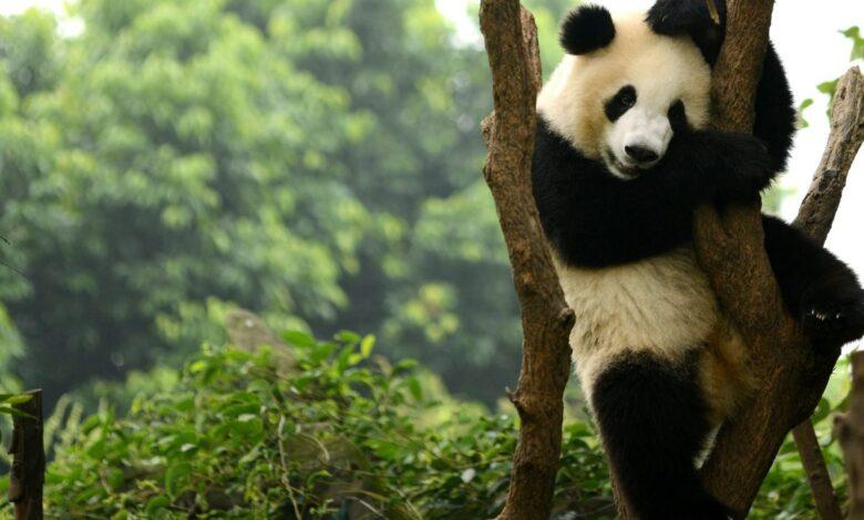 panda-non-specie-rischio-estinzione